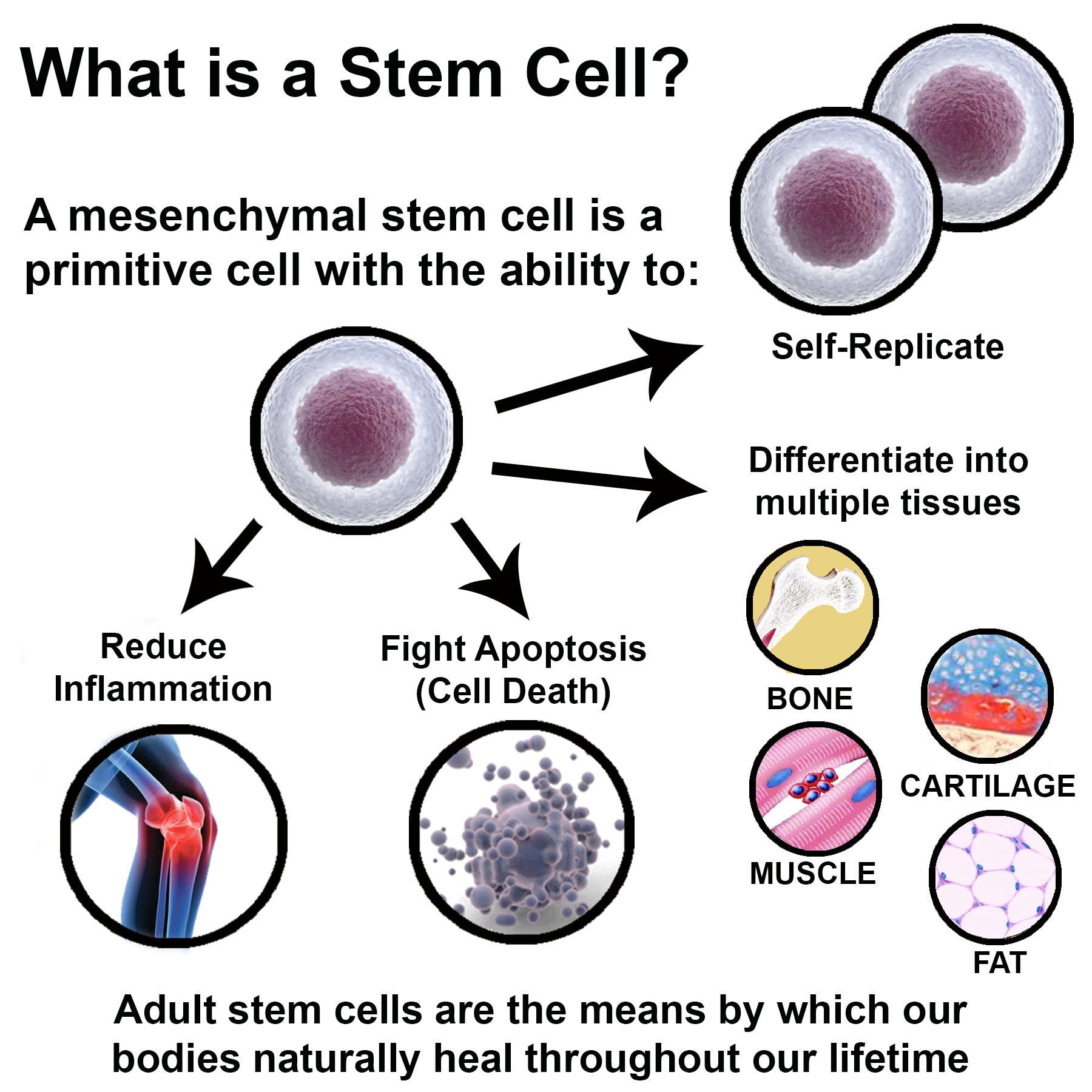 stem cells are they the cure What are stem cells, and why are they so important stem cells are the builders and the repairmen of the world's most complex construction project: the creation of.